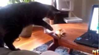 Не кошки,а ходячий анекдот!!!