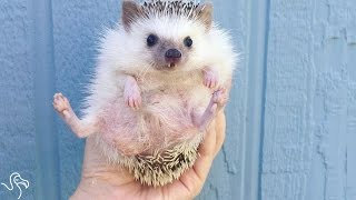 Rescue Hedgehog Can't Stop Smiling