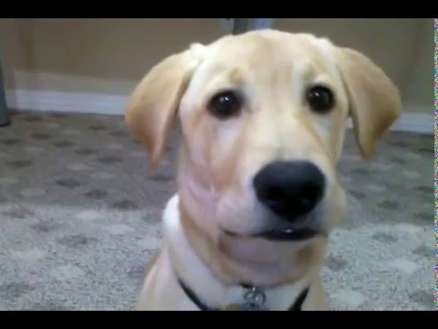 Yellow Lab Puppy Barking at me