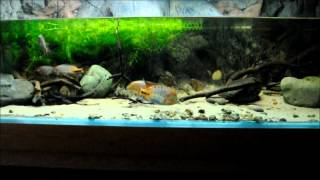 North Central American Cichlids In The Display Aquarium Episode 2 By Lee Nuttall