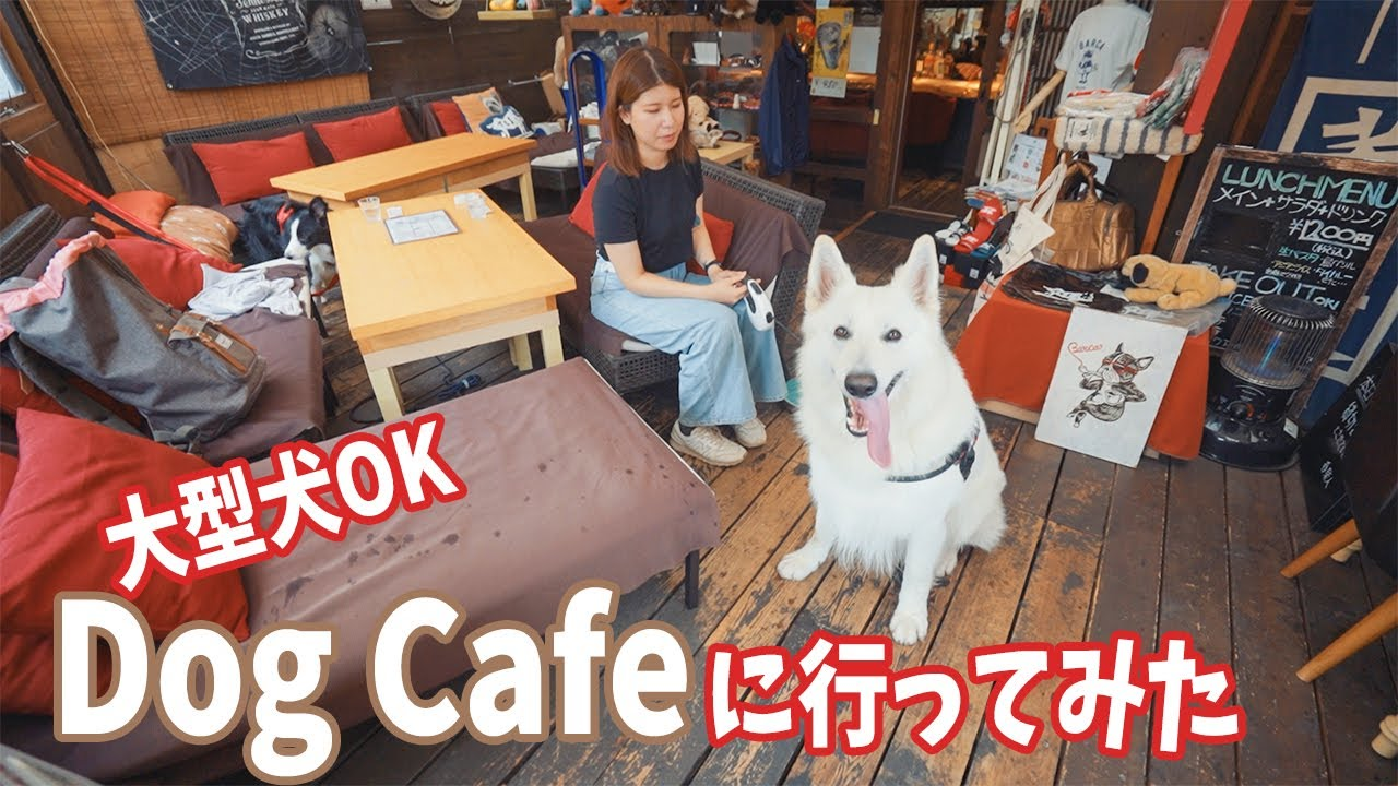 初めてのドッグカフェで雨宿りするホワイトシェパードとボーダーコリー