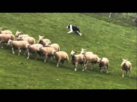 border collie-dogs 101