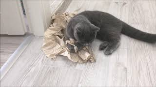 My British Shorthair Cat are Obsessed with Toilet Paper | Funny Cat Videos 2020