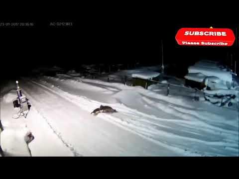 Нападение волка на домашних животных, 19 реальных заснятых видео.