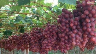 WOW! Amazing New Agriculture Technology - Grape