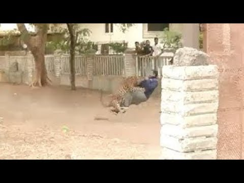 wild-leopard-rampages-through-indian-town