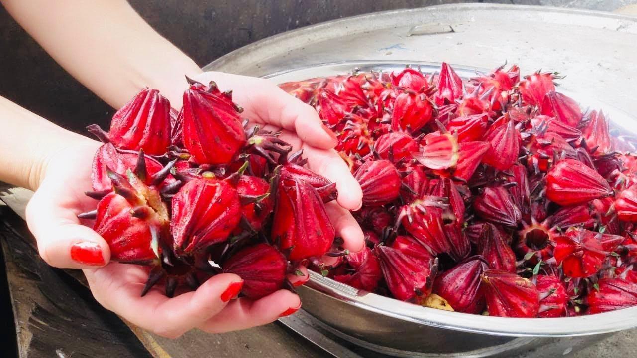 El Cultivo De Jamaica Flor Y Té Beneficios Youtube