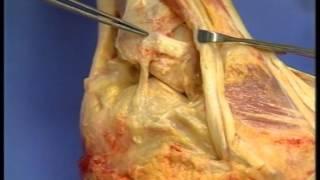 Anatomie de la cheville - Docteur Laurent DUPRE LA TOUR, Clinique Mutualiste Chirurgicale