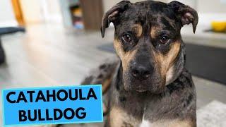 Catahoula Bulldog  TOP 10 Interesteing Facts