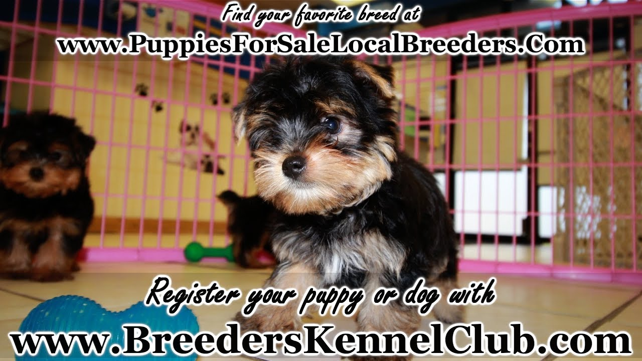 Teacup Yorkie Puppies For Sale Georgia Local Breedrs Near Atlanta