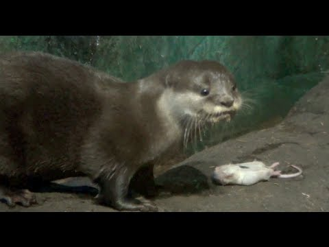An Otter Eating His Lunch - Ripping A Mouse Apart!