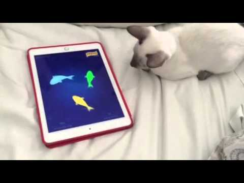 Siamese Cat Tanzy plays video games on iPad!!