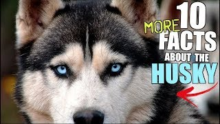 10 More Facts You SHOULD Know Before Buying A Siberian Husky!