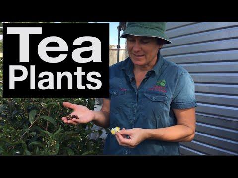 Growing Tea Plants - A bit Slow in Australia (Camellia Sinensis)