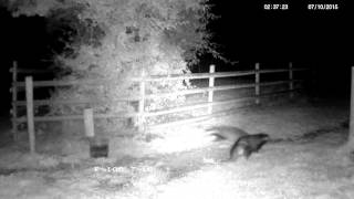 Rural badgers fighting in the middle of the night - with sounds