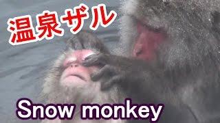 地獄谷野猿公苑の旅#3温泉に入る猿 サル面白いですねー! Jigokudani ...