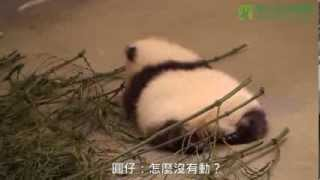 圓仔轉圈圈 The Giant Panda Cub Spinning in Circle
