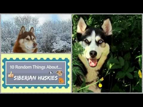 10 Random Things About...Siberian Huskies
