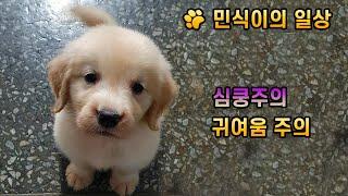 리버민식(골든리트리버민식이)-골든리트리버 심쿵 일상소개