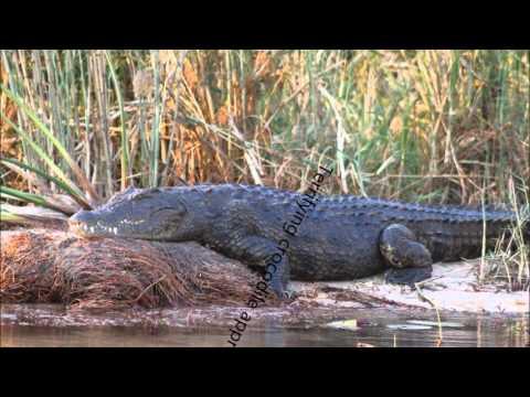 man is eaten alive by crocodile - YouTube