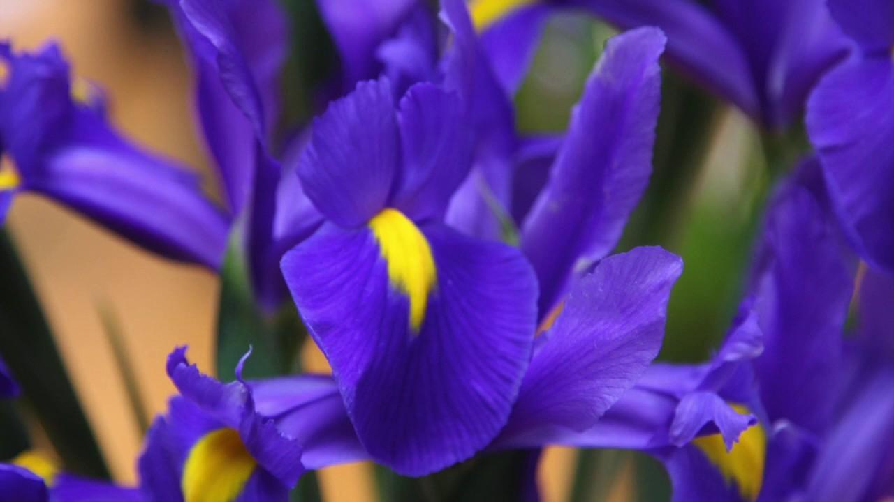 How to plant and grow dutch iris bulbs youtube how to plant and grow dutch iris bulbs izmirmasajfo