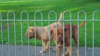 Bigheads Day On The Park! Dogue De Bordeaux