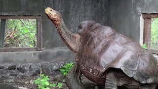 Galapagos giant tortoises go home after saving their species