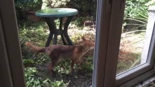 Harmless Urban Fox