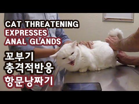 고양이 꼬부기 충격적반응 항문낭 짜기 CAT TERRIFYING REACTION: EXPRESS ANAL GLANDS