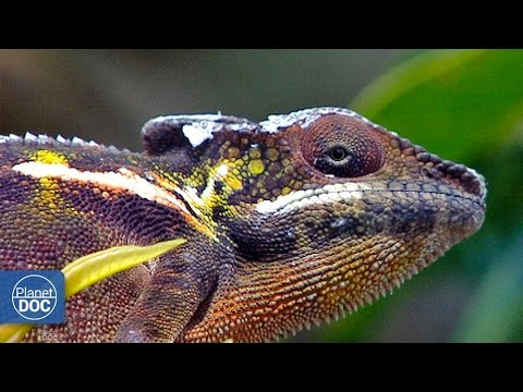 Lizards Of Madagascar