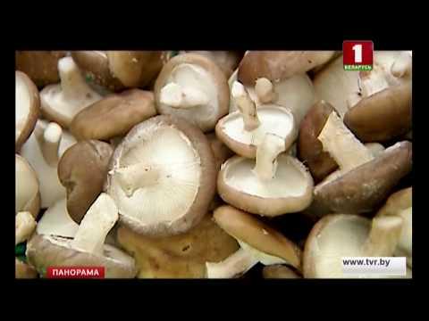 технология выращивания грибов шиитак