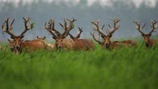 Редких оленей милу успешно разводят в Китае (новости)