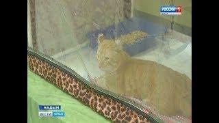 Мягкие, но со своим характером: в Надыме прошла выставка кошек
