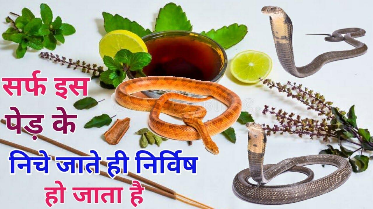 हाई ब्लेड़ प्रेशर और शराबी की नशा को पांच मिनट उतारने वाली  दहिमन बूटी,जिला कांकेर (३६गढ)