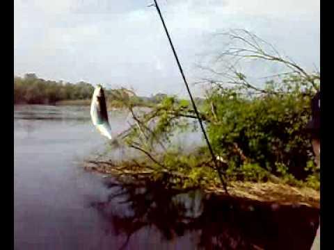 рыбалка, верховодка (уклейка) на воблер