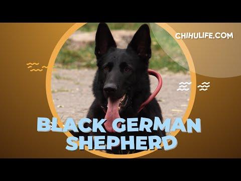 Black German Shepherd - Information and Facts