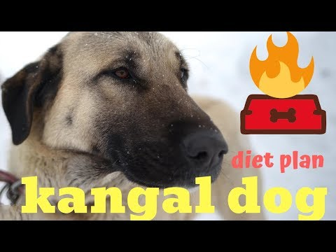 kangal dog | diet plan | amazing facts in hindi | animal channel hindi
