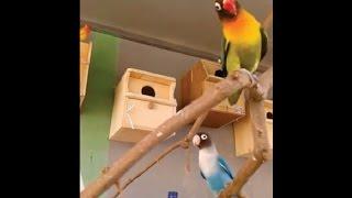 TERNAK LOVEBIRD KOLONI