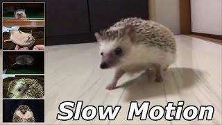 ハリネズミのえびす丸 030 スローモーション詰め合わせ Hedgehog Slow Motion Movie