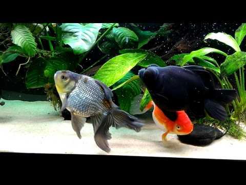 Updated Planted Goldfish Aquarium Large Anubias