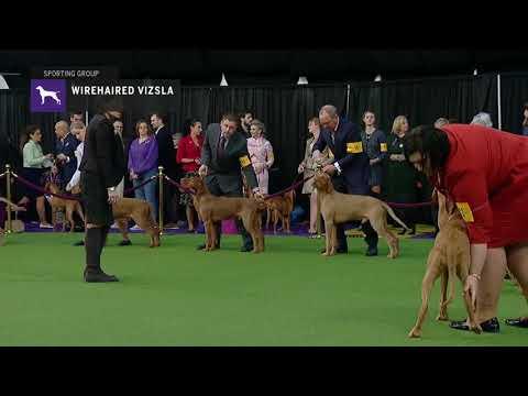 Wirehaired Vizslas | Breed Judging 2019