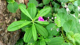 Planta encontrada na calçada vale ouro