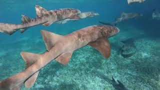 Belize And3919 - Swimming With The Sharks