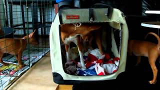 Pharaoh Hound pups 6½ weeks playing with our 8½ month old basenji b...