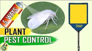 PEST CONTROL: 5 Easy Ways to Control Aphids Whiteflies Mealybugs Spider mites
