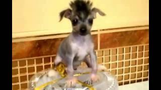 Щенок китайской хохлатой собаки супер-мини