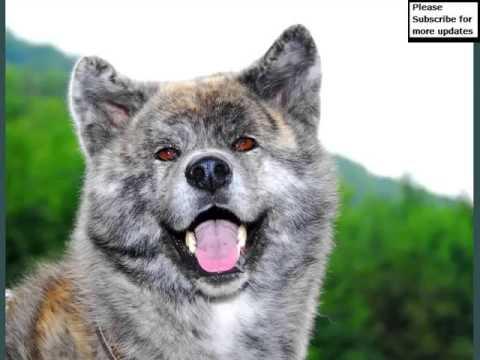 A Akita Dog Akita Dogs | Do...