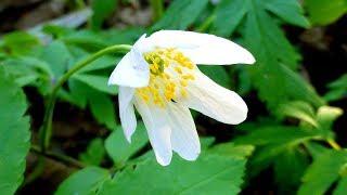 Ветреница Дубравная Анемона Немороза. Белые Весенние Цветочки. Белые Цветы в Лесу. Футаж Цветы