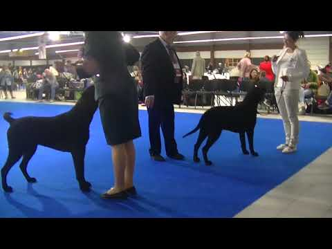 Curly Coated Retriever Euro dog show 2018