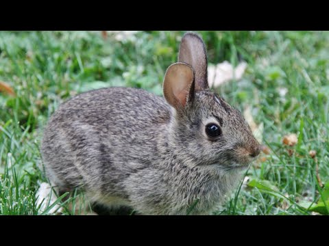 What To Do With A Backyard Bunny Rabbit Nest? Amazing Footage